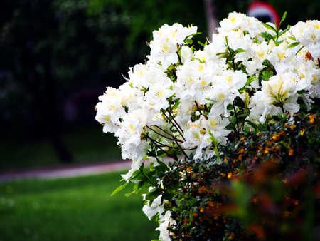 White Azalea, Rhododendron in the park, spring Stock Photo