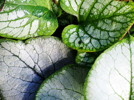 jack frost: Brunnera macrophylla Jack Frost and Looking Glass - Siberian bugloss