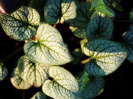 jack frost: Brunnera macrophylla Jack Frost - Siberian bugloss