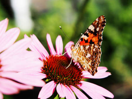 vanessa: Painted lady butterfly (Cynthia cardui syn. Vanessa cardui) on Coneflower Rubinstern (Echinacea) flower.