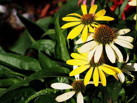 echinacea: Yellow coneflower (Echinacea) Cleopatra Stock Photo