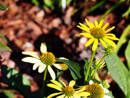 coneflower: Yellow coneflower (Echinacea) Cleopatra Stock Photo