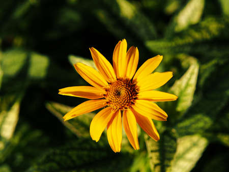 oxeye: Variegated leaves and yellow flowers - False sunflower, rough oxeye - Heliopsis helianthoides Loraine Sunshine