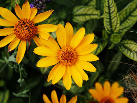 variegated: Variegated leaves and yellow flowers - False sunflower, rough oxeye - Heliopsis helianthoides Loraine Sunshine