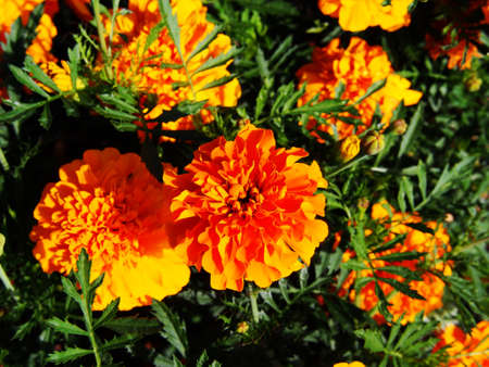 patula: Orange French marigold (Tagetes patula)