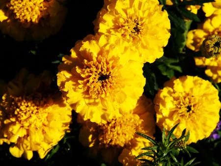 patula: Yellow French marigold (Tagetes patula) Stock Photo