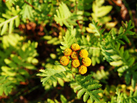 herbaceous: Yellow Tanacetum vulgare (tansy)