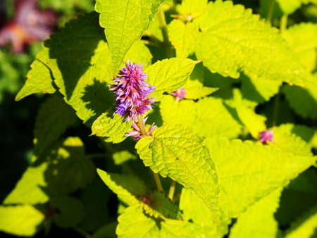 Yellow and violet Agastache foeniculum Golden Jubilee (blue giant hyssop, anise hyssop) Stock Photo