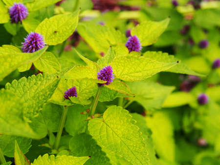 hyssop: Yellow and violet Agastache foeniculum Golden Jubilee (blue giant hyssop, anise hyssop) Stock Photo