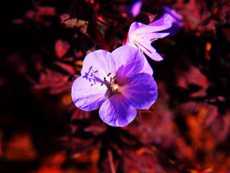 cranesbill: Geranium pratense Dark Reiter - Meadow Cranesbill - single flower closeup Stock Photo