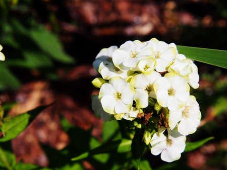 Beautiful white and green flowers of Phlox paniculata Jade - garden phlox