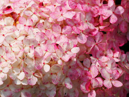panicle: Close up of Hydrangea paniculata Renhy Vanille Fraise - panicle hydrangea Stock Photo