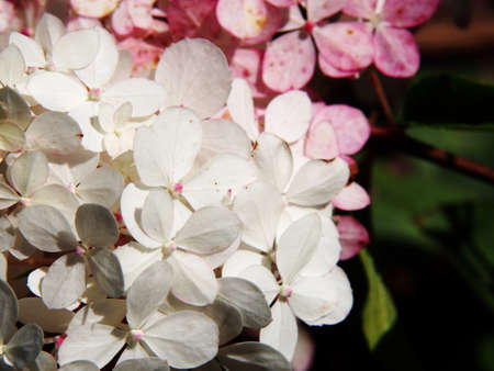 limelight: Close up of Hydrangea paniculata Renhy Vanille Fraise - panicle hydrangea Stock Photo