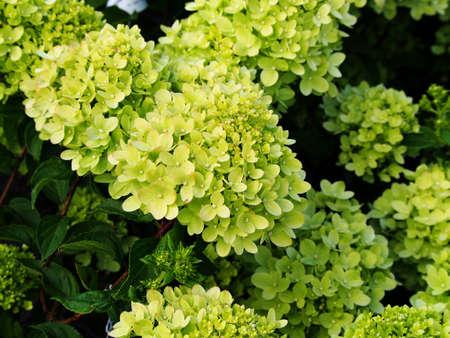 panicle: Hydrangea paniculata Little Lime Jane - panicle hydrangea