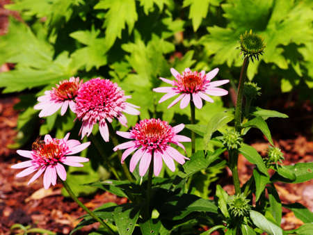 Pink flowered double Coneflower - Echinacea Butterfly Kisses