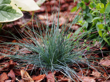 Blue fescue - Festuca glauca 'Intense Blue'