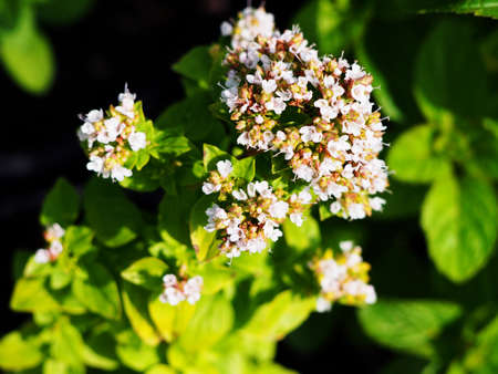wild marjoram: Golden oregano, Origanum vulgare Thumbles Variety in full bloom