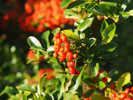 Pyracantha coccinea, scarlet firethorn