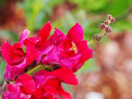 antirrhinum majus: Antirrhinum majus - snapdragon