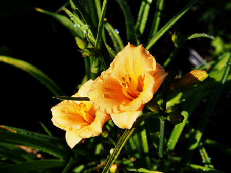 daylily: Blooming Hemerocallis - Daylily Stock Photo