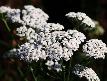 yarrow: White common yarrow - Achillea millefolium