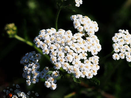 White common yarrow - Achillea millefolium