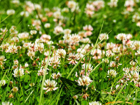 Trifolium repens - white clover Stock Photo