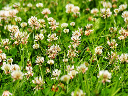 trifolium: Trifolium repens - white clover Stock Photo