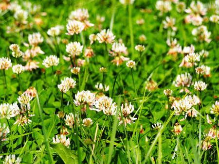 repens: Trifolium repens - white clover Stock Photo
