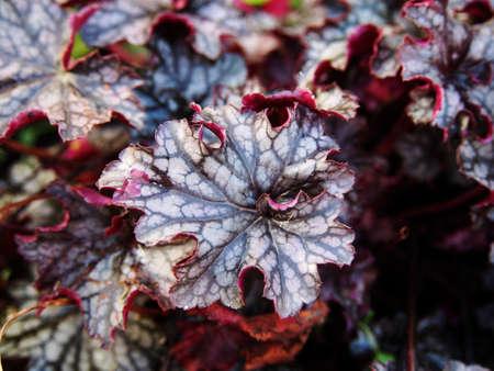 Autumn shot of Heuchera Blackberry Jam (alumroot, coral bells)
