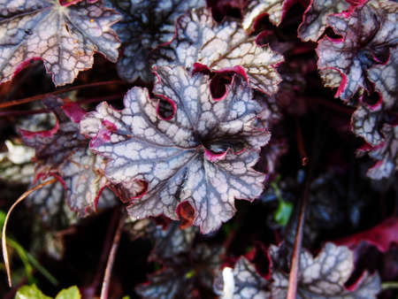 coral bell: Autumn shot of Heuchera Blackberry Jam (alumroot, coral bells)