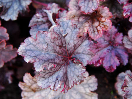 coral bell: Heuchera Purple Forever - alumroot, coral bells Stock Photo