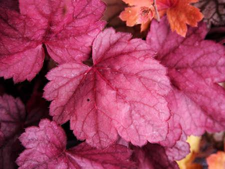 coral bell: Coral bells, alumroot - Heuchera Grape Soda
