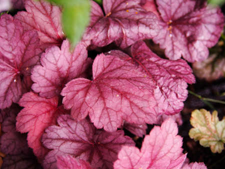 Coral bells, alumroot - Heuchera Grape Soda