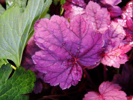Heuchera Grape Soda - alumroot, coral bells