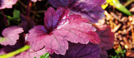 coral bell: Heuchera Grape Soda - alumroot, coral bells