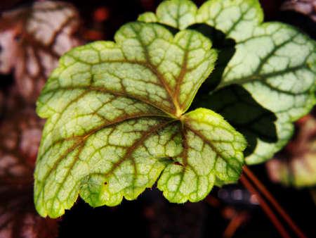 Coral bells, alumroot - Heuchera Green Spice