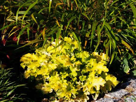 coral bell: Heuchera (coral bells, alumroot) Lime Marmalade with Hakonechloa (Hakone grass) and Luzula piles Igel
