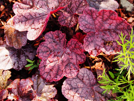 Purple coral bells, alumroot - Heuchera Magnum