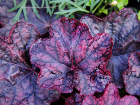 coral bell: Purple coral bells, alumroot - Heuchera Magnum