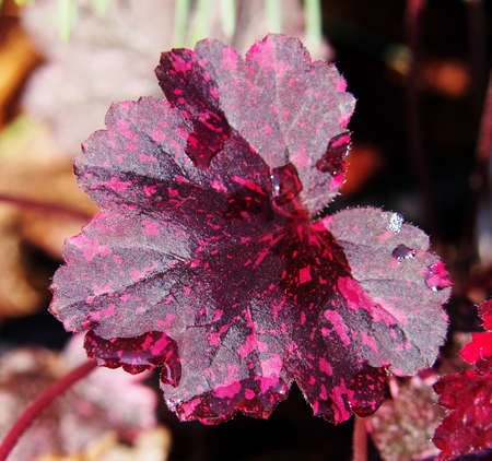 coral bell: Coral bells, alumroot - Heuchera Midnight Rose