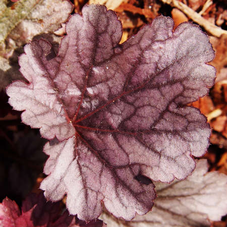 coral bell: Purple coral bells, alumroot (Heuchera Milan)