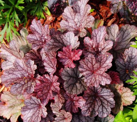 Purple coral bells, alumroot (Heuchera Milan)
