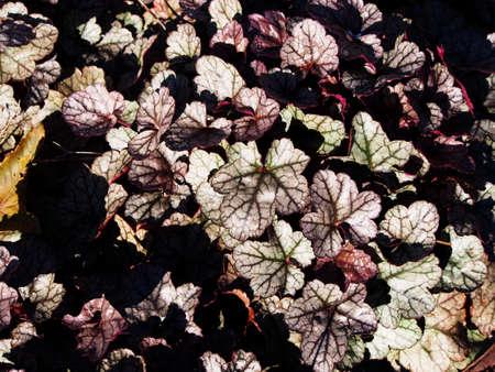 coral bell: Heuchera Silver Scrolls - alumroot, coral bells Stock Photo