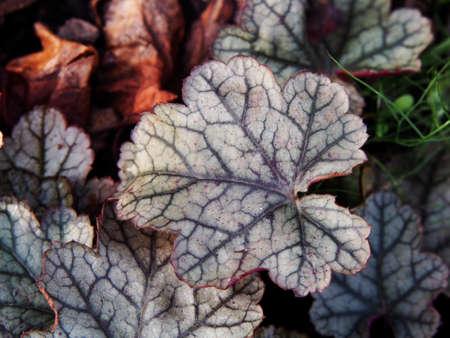 herbaceous: Heuchera Sugar Frosting - coral bells, alumroot