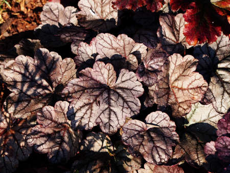 scrool: Heuchera Silver Scrolls - alumroot, coral bells Stock Photo