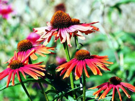 echinacea: Echinacea Mamma Mia - coneflower