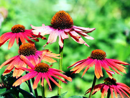 mamma: Echinacea Mamma Mia - coneflower