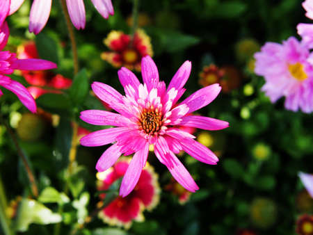 echinacea: Pink, double-flowered Echinacea Southern Belle (Coneflower)