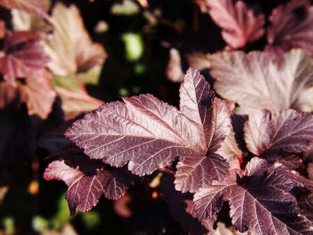 Physocarpus opulifolius 'Diabolo' - Physocarpe Banque d'images - 70044040